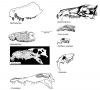 Size-comparison-of-the-two-known-snouts-of-Barinasuchus-arveloi-with-skulls-of-another.png